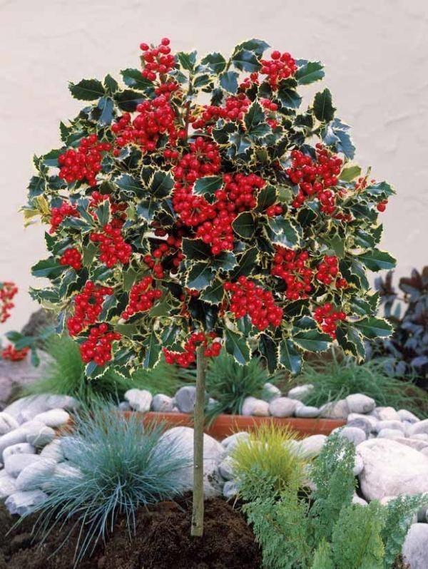 Alberi da giardino sempreverdi alberi latifolie alberi - Alberi particolari da giardino ...