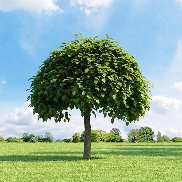 Alberi da giardino alberi latifolie alberi da giardino - Alberi sempreverdi da giardino ...