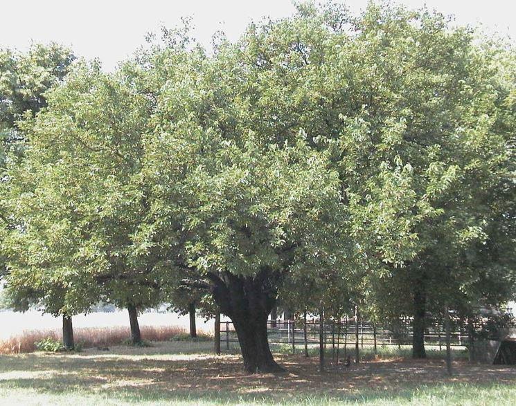 Alberi da giardino - Alberi Latifolie - Alberi da giardino ...