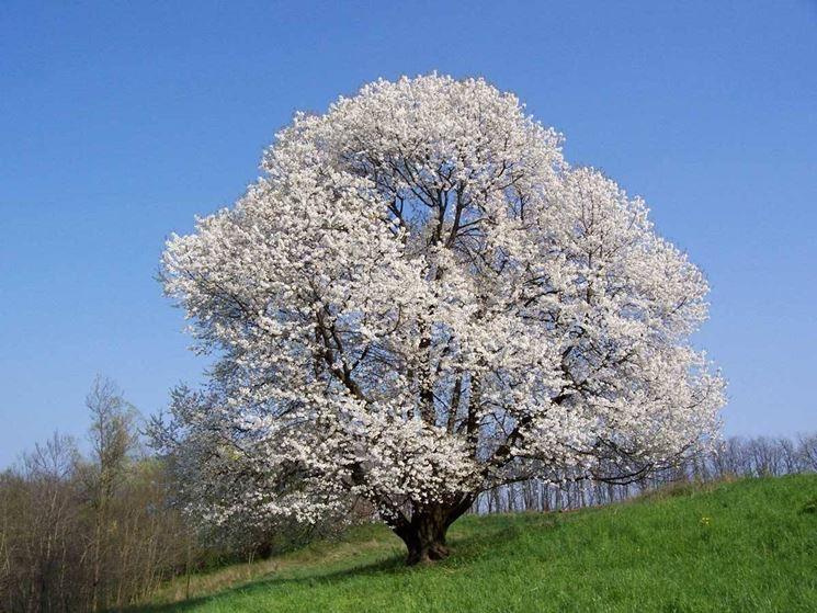 Alberi da giardino alberi latifolie alberi da giardino for Alberi da frutto prezzi
