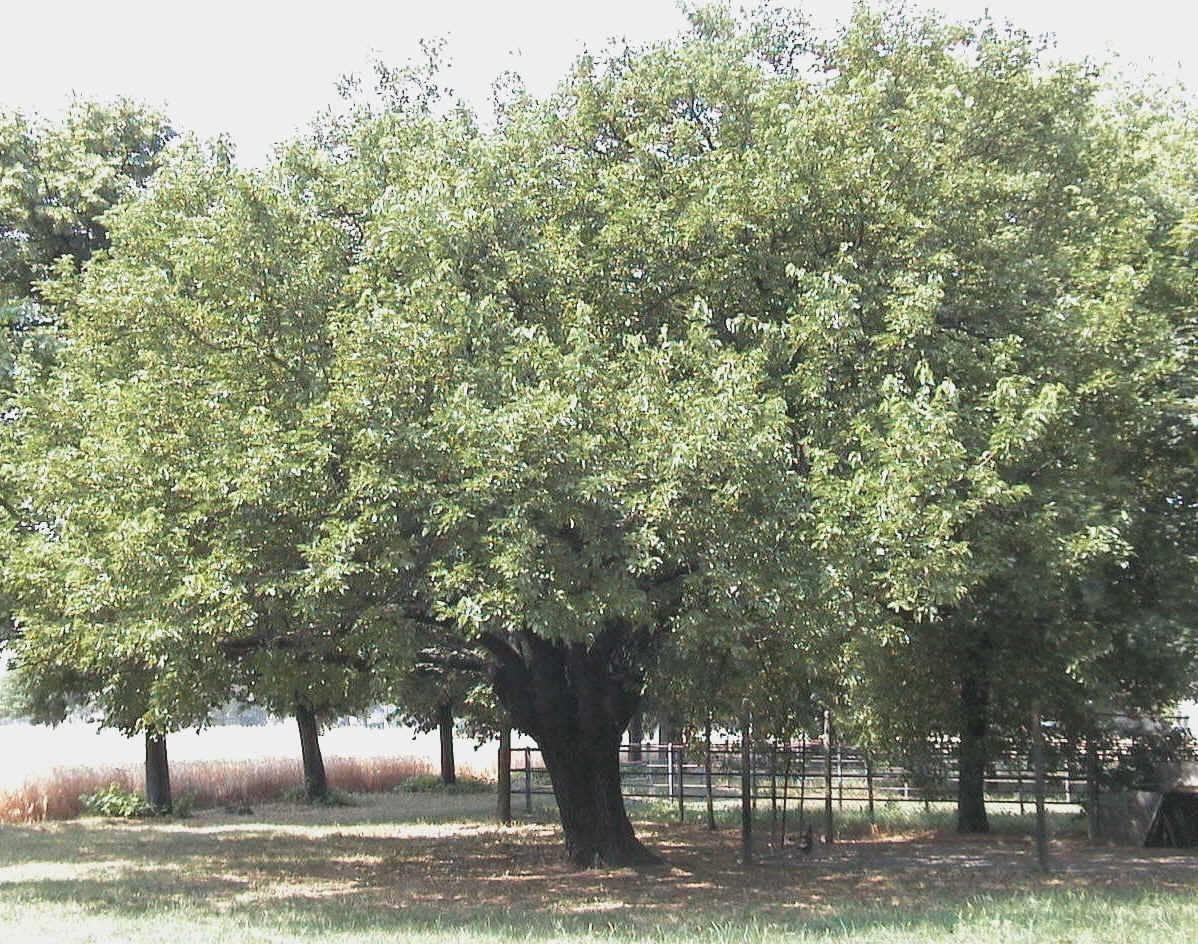 Alberi da giardino alberi latifolie alberi da giardino for Alberi da vaso