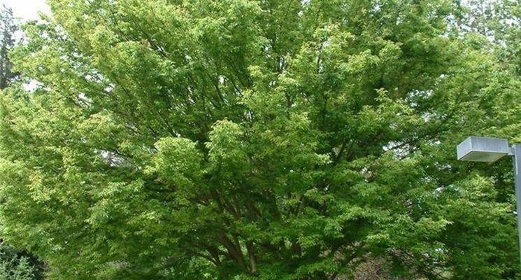 Piante da ombra sempreverdi zt43 regardsdefemmes - Alberi sempreverdi da giardino ...