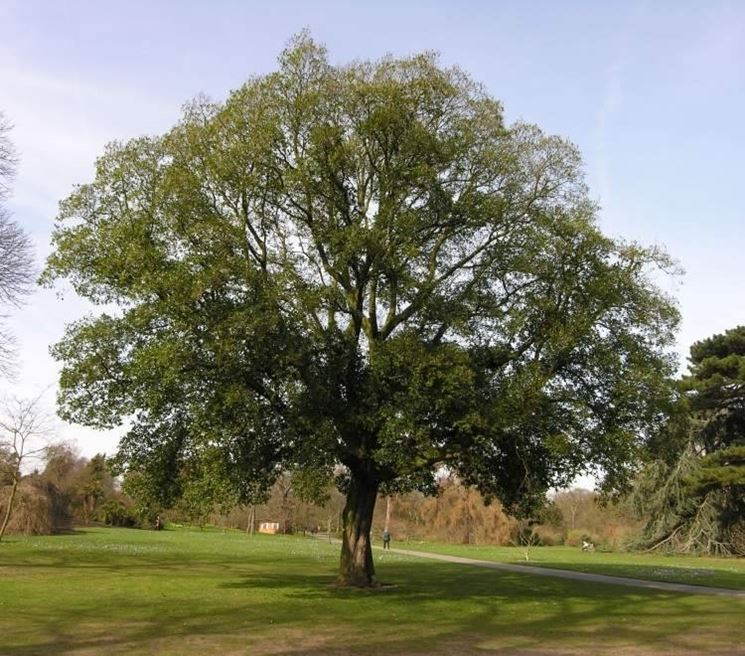 alberi da ombra alberi latifolie giardino di alberi