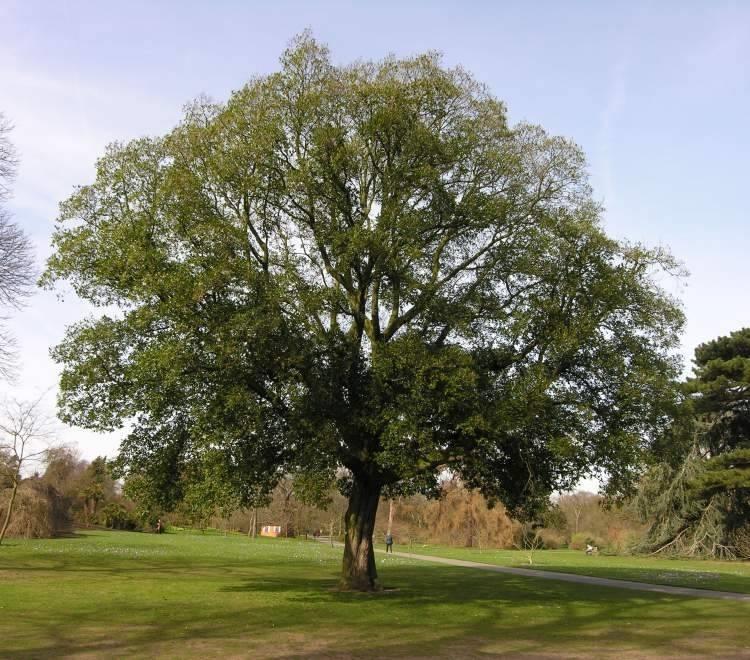 ... da ombra - Alberi Latifolie - Giardino di alberi latifolie: alberi da