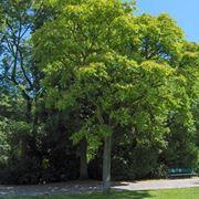 Ailanto in un parco pubblico