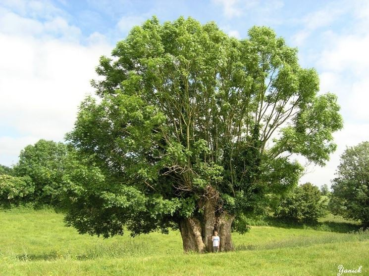 Alberi di alto fusto nomi alberi latifolie nomi degli - Alberi sempreverdi da giardino ...