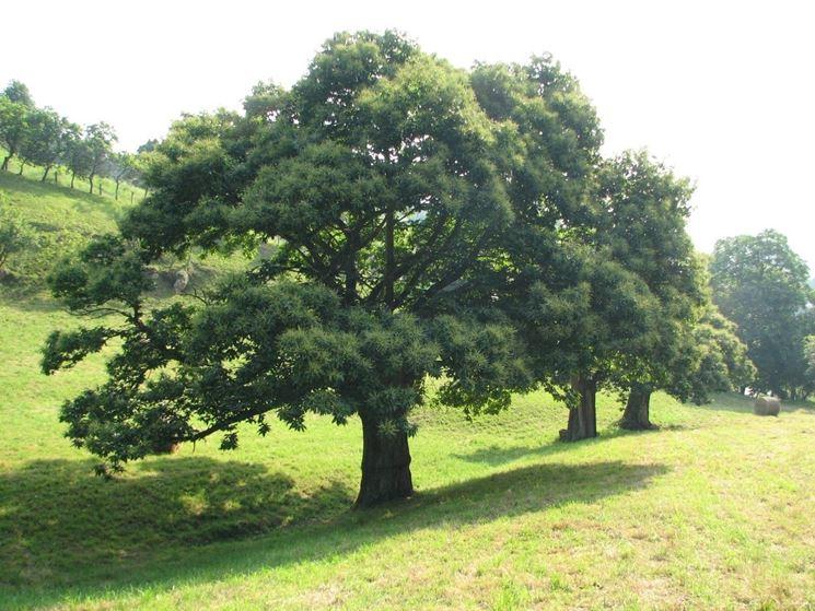 alberi di alto fusto nomi alberi latifolie nomi degli