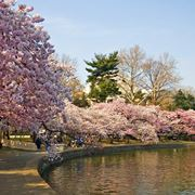 albero giapponese