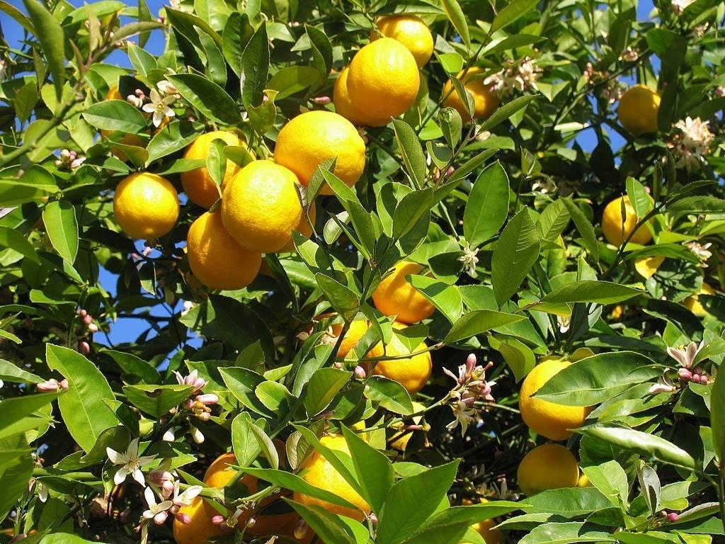 Alberi giardino alberi latifolie caratteristiche degli - Alberi frutto giardino ...