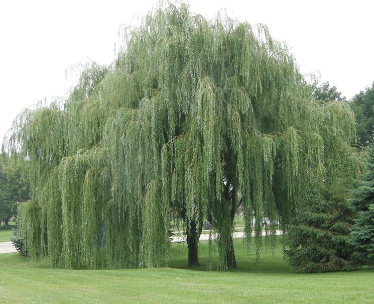 Alberi italia alberi latifolie caratteristiche degli - Alberi a crescita rapida sempreverdi ...