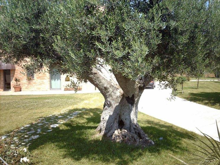 Alberi ornamentali alberi latifolie alberi ornamentali for Le piante sempreverdi
