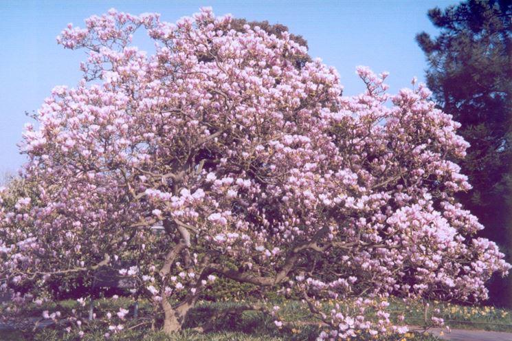Alberi ornamentali alberi latifolie alberi ornamentali caratteristiche - Alberi ornamentali per giardino ...