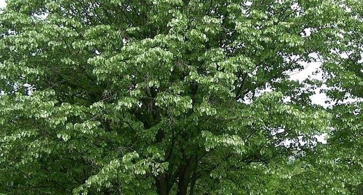 Alberi per giardini alberi latifolie come scegliere gli alberi per giardino - Alberi ornamentali per giardino ...