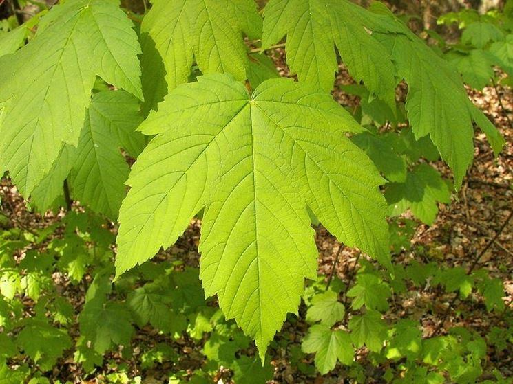 Alcune foglie d'acero