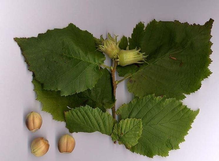 Alcune foglie di betulla bianca