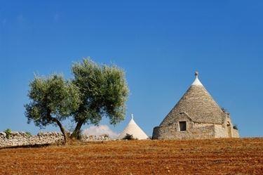 Ulivi in Puglia
