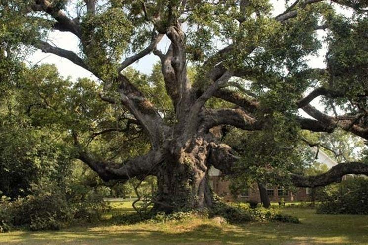 Gli alberi secolari nel mondo