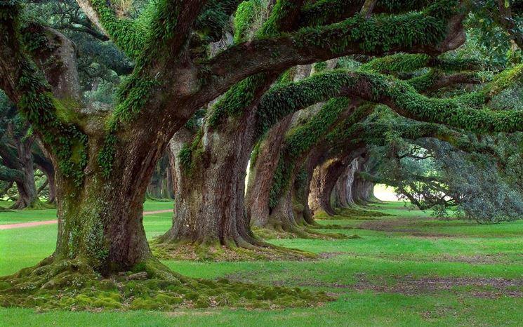 Viale alberi secolari