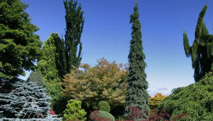 Alberi sempre verdi ornamentali