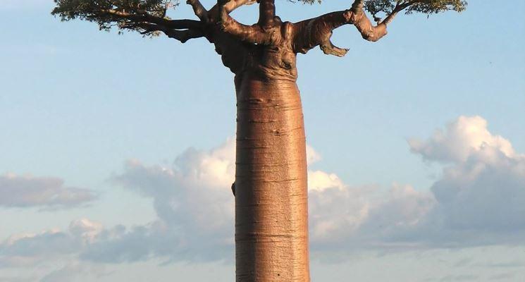 Albero di baobab in natura