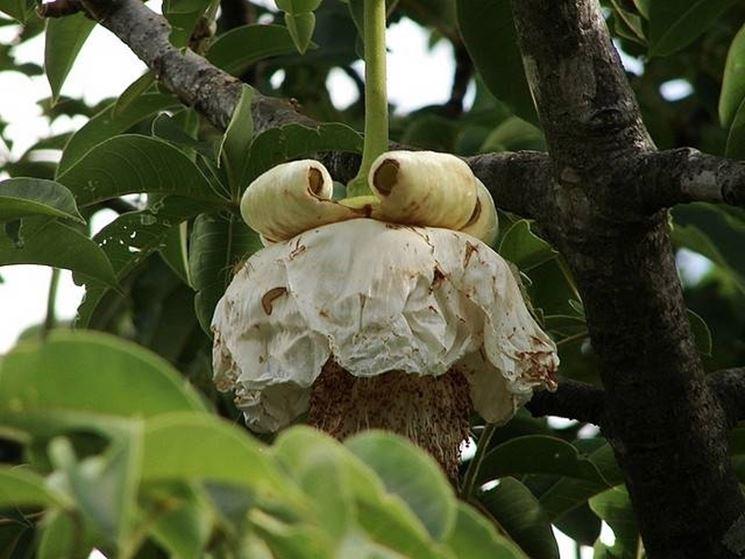 Fiore albero di baobab