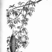 baobab albero