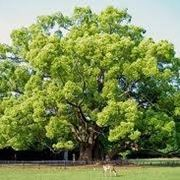 Esemplare di albero canfora