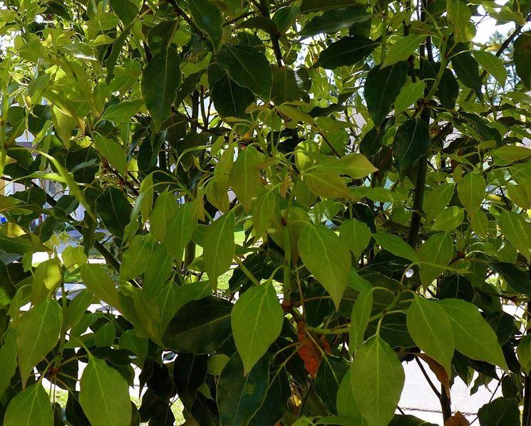 Foglie di albero canfora