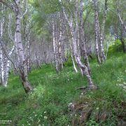 alberi di betulla