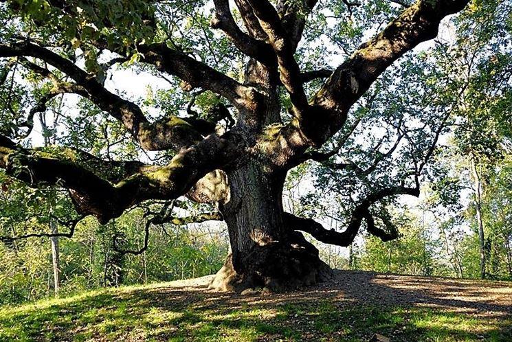 Albero da giardino alberi latifolie alberi da giardino for Alberi sempreverdi da ombra