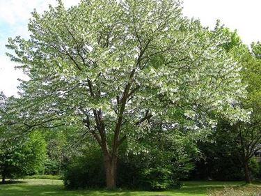 Esemplare albero dei fazzoletti