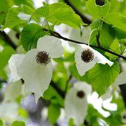 albero dei fazzoletti