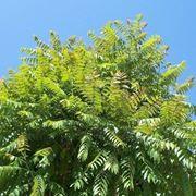 Chioma di un albero del paradiso