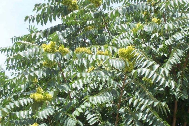 Un esempio di albero del paradiso fiorito