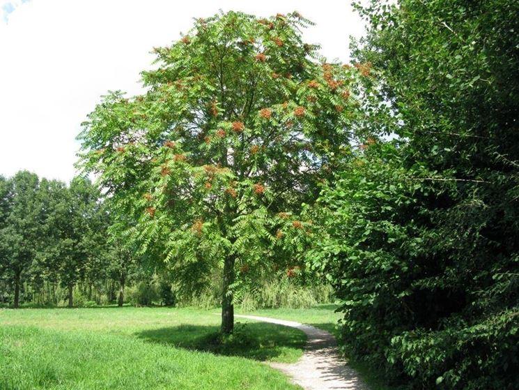 L'albero del paradiso o ailanto