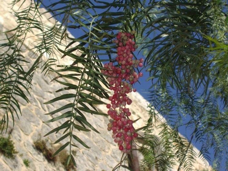 Chioma dell'albero del pepe rosa