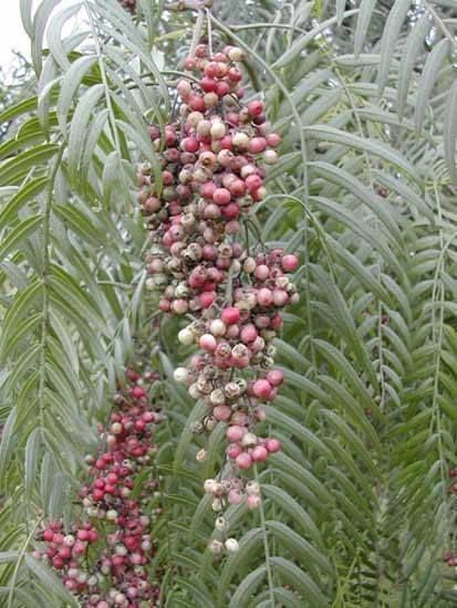 Albero del pepe alberi latifolie pepe albero for Pianta nocciolo prezzo