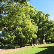 Esemplare di albero di canfora