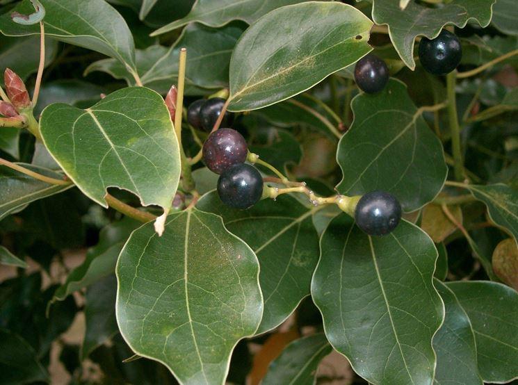 Dettaglio frutti albero di canfora