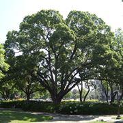 albero canfora
