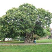 Grande albero di castagno