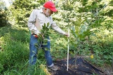 Piantare l'albero di castagno