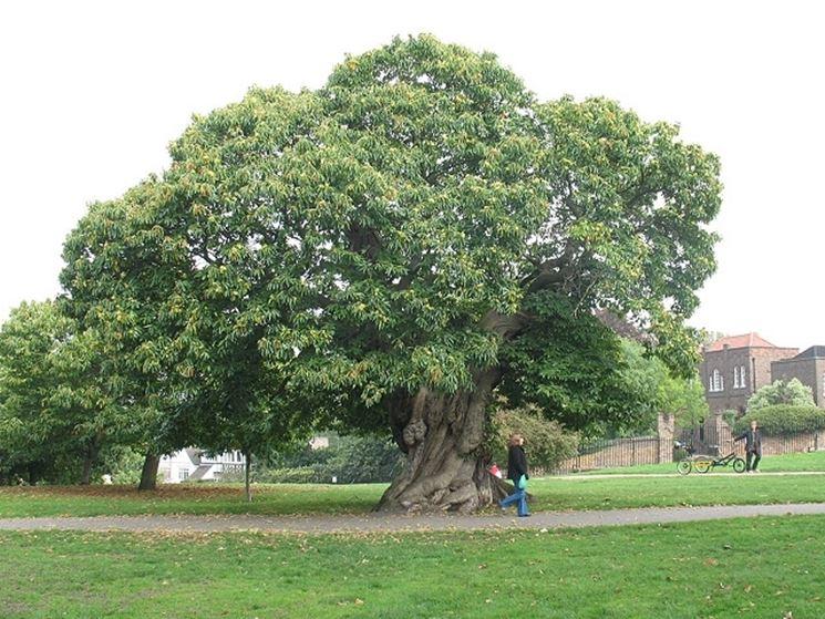Albero di castagno alberi latifolie albero di castagno - Alberi frutto giardino ...