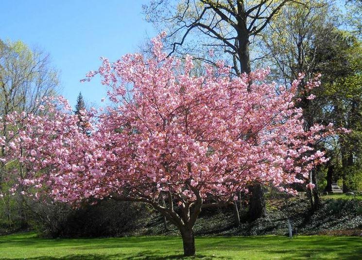 Albero di magnolia durante la fioritura