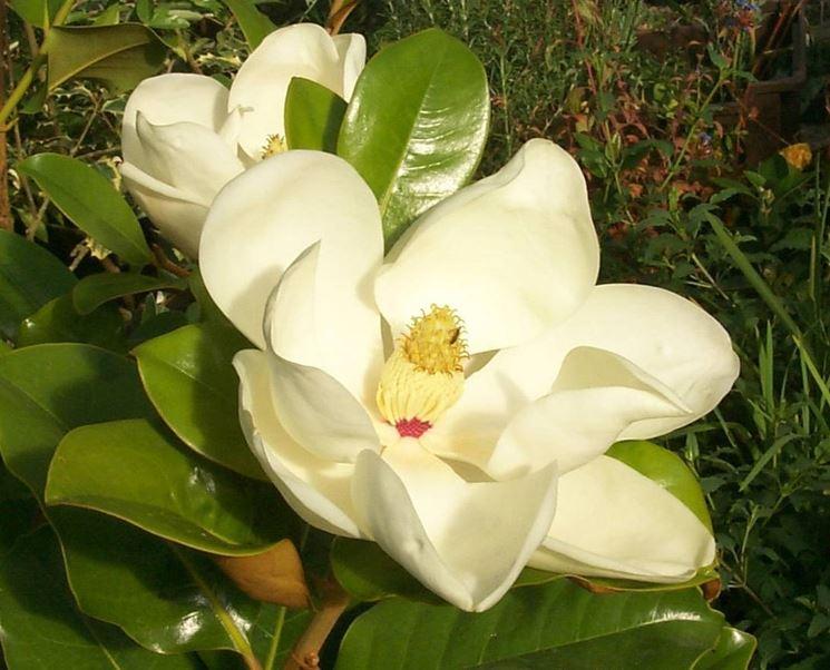 Magnolia dai fiori bianchi