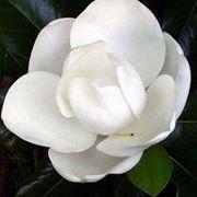 albero di magnolia