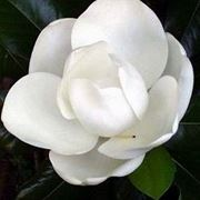 albero con fiori bianchi