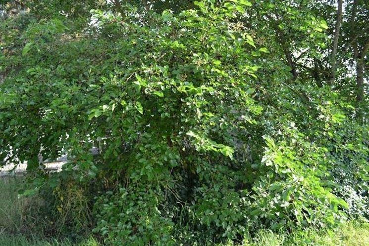 Esemplare di albero di more