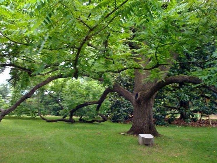 Esemplare di albero noce
