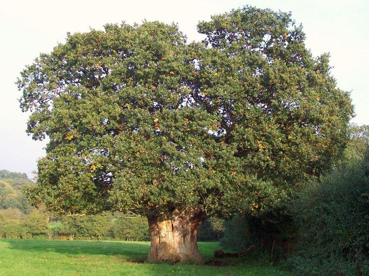 Esemplare di albero nocciolo